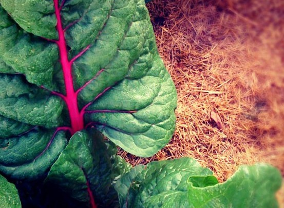 Want Spinach All Summer? Grow Chard.