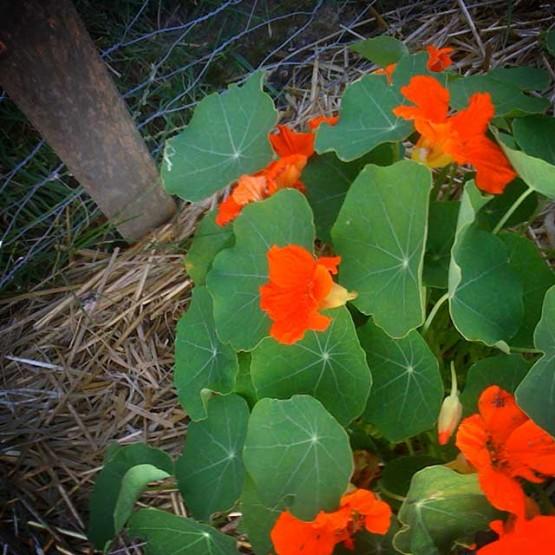 Growing nasturtiums. Yep... nah-STUR-shumz