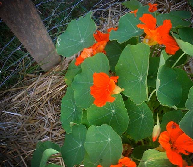 Growing nasturtiums. Yep... nah-STUR-shumz
