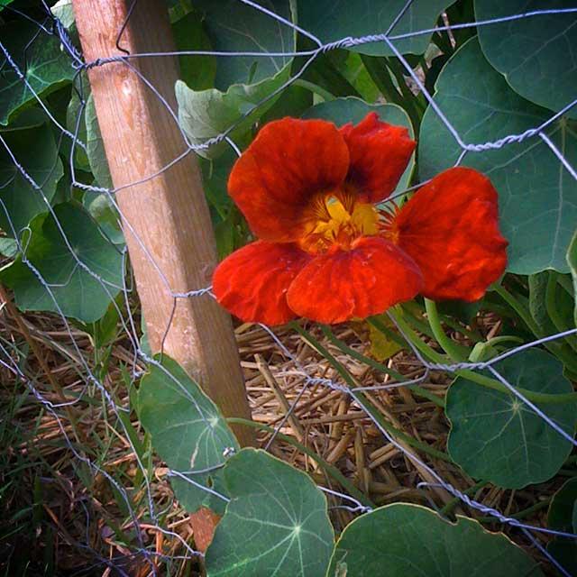 nasturtiums-life-appalachia