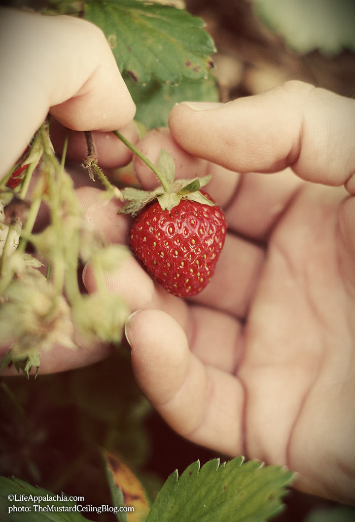 picking-a-fresh-strawberry